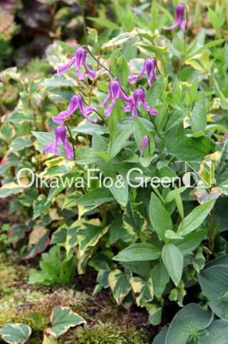 Integrifolia-rosea99