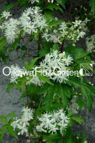 Apiifolia03